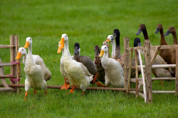 raising runner ducks