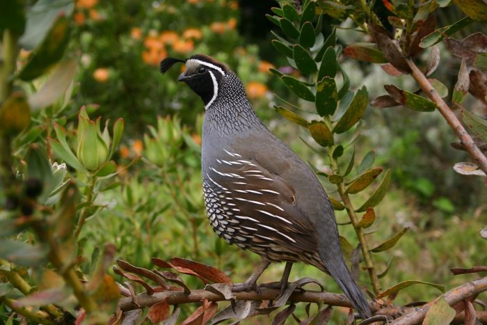 quail breeds to raise