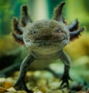 caring for and raising axolotls