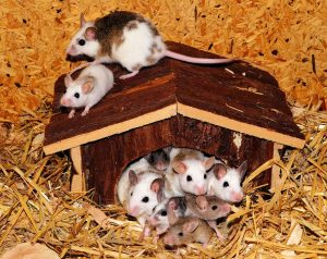 caring for mice