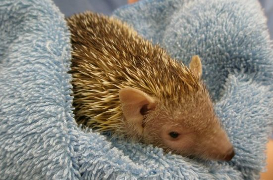 caring for tenrecs