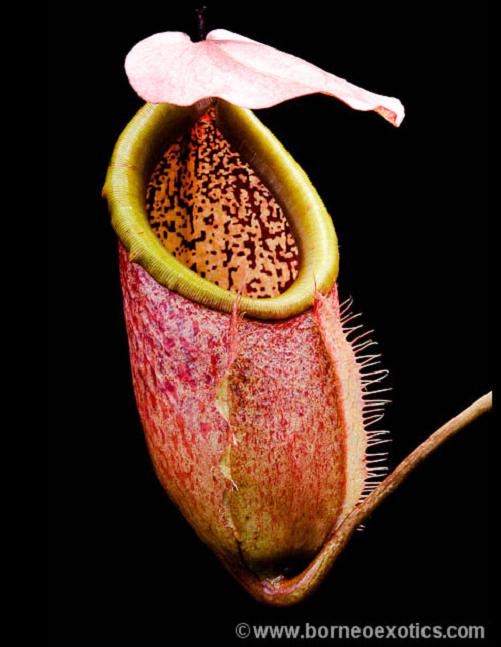 lowland nepenthes