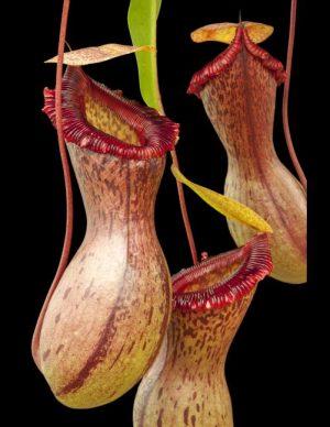 N. ventricosa – Madja-as