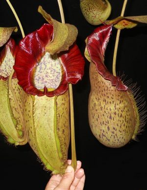 N. spathulata x spectabilis