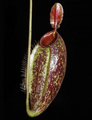 N. ampullaria x aristolochioides