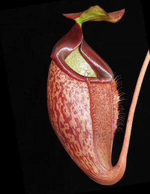 N. merrilliana x glabrata