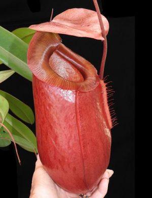 N. sibuyanensis x merrilliana