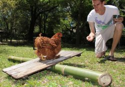 how to train your chickens