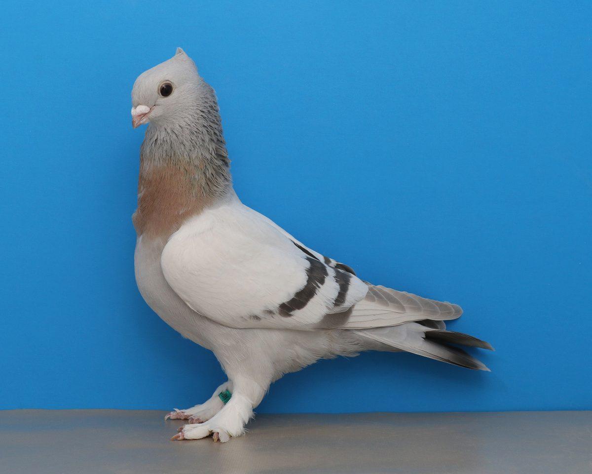 raising pigeons
