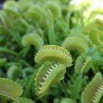Dionaea muscipula 'Dente'