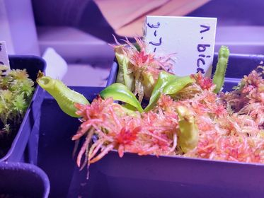 how to grow nepenthes bicalcarata